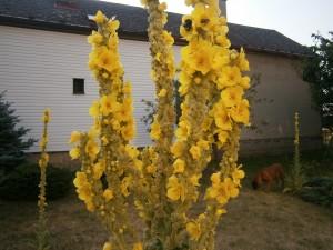 Kvetoucí divizna